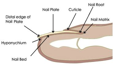 The Picture Above Shows A Diagram Of What Nail Looks Like And Has Major Parts Labeled You Can See Root Form Which Grows From